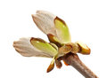 Chestnut bud Stock Photo