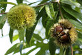 Chestnut with bur Royalty Free Stock Photo
