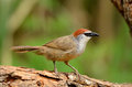 Chestnut-capped babbler Royalty Free Stock Images