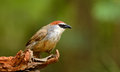 Chestnut capped babbler beautiful resting on log in forest of thailand Royalty Free Stock Photography