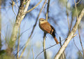 Chestnut crowned becard pachyramphus castaneus single bird on branch brazil Royalty Free Stock Image