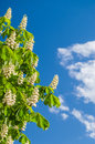 Chestnut flowers against blue sky Royalty Free Stock Photo