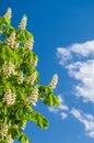 Chestnut flowers against blue sky Royalty Free Stock Photo