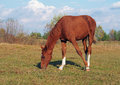 A chestnut foal grazes on a pasture in grass Stock Photo