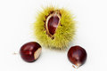 Chestnut Fruit and Seeds Stock Images