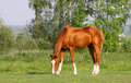 Chestnut golden horse grazing in field Royalty Free Stock Photos