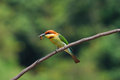 Chestnut headed bee eater beautiful merops leschenaulti possing Royalty Free Stock Image