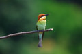 Chestnut headed bee eater beautiful merops leschenaulti possing Royalty Free Stock Photos