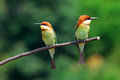 Chestnut headed bee eater beautiful merops leschenaulti possing Stock Image