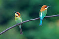 Chestnut headed bee eater beautiful merops leschenaulti possing Royalty Free Stock Photo