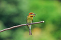 Chestnut headed bee eater beautiful merops leschenaulti possing Stock Photo