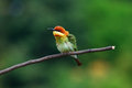 Chestnut headed bee eater beautiful merops leschenaulti possing Stock Photography