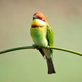 Chestnut headed bee eater colorful bird merops leschenaulti sitting on a branch Royalty Free Stock Photos