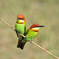 Chestnut headed bee eater colorful bird merops leschenaulti sitting on a branch Royalty Free Stock Photo