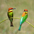 Chestnut headed bee eater colorful bird merops leschenaulti sitting on a branch Stock Photo