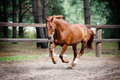 Chestnut horse in action Royalty Free Stock Photos