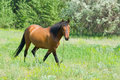 Chestnut horse is ambling on a spring pasture Royalty Free Stock Images
