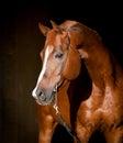 Chestnut horse on dark background Royalty Free Stock Photo