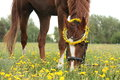 Chestnut horse eating dandelions at the pasture Royalty Free Stock Photo