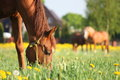 Chestnut horse eating grass at the field Royalty Free Stock Photo