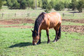 Chestnut horse eating grass in village orlovsky Royalty Free Stock Photography