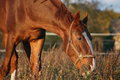 Chestnut horse eating at the pasture in autumn Stock Photos
