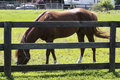 Chestnut horse fence image of a behind a Royalty Free Stock Photo