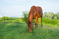 Chestnut horse grazing on a spring pasture at evening time Royalty Free Stock Photography