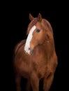 Chestnut horse head on black Royalty Free Stock Photo