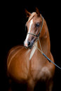 Chestnut horse isolated on black arabian portrait background Royalty Free Stock Photography