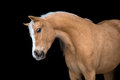 Chestnut horse isolated on black welsh pony portrait Stock Photo