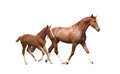 Chestnut horse and its cute foal running fast isolated on white Royalty Free Stock Image