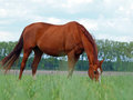 Chestnut horse on a pasture the of colour grazes in green grass Royalty Free Stock Images