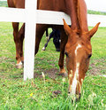 Chestnut horse portrait farm animal Royalty Free Stock Photography