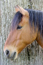 Chestnut horse in profile close up a of a beautiful near a tree Royalty Free Stock Photo