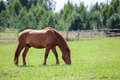 Chestnut horse with red mane grazing in field summer copyspace Royalty Free Stock Images