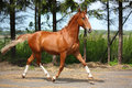 Chestnut horse trotting near the forest Royalty Free Stock Photo