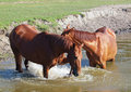 Chestnut horses refreshed in water a pond Royalty Free Stock Photos