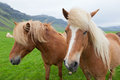 Chestnut icelandic horses two nice with hair coat walking in a summer countryside Stock Photos