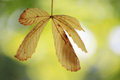 Chestnut leaf Royalty Free Stock Images