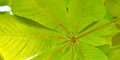 Chestnut leaves closeup green in the summer season Royalty Free Stock Images