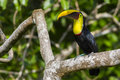 Chestnut-mandibled Toucan, or Swainson's Toucan (Ramphastos am Stock Photo