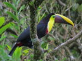 Chestnut mandibled toucan tucán de swainson ramphastos swainsonii the or swainson's ambiguus is a near passerine bird which Royalty Free Stock Photography