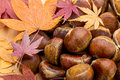 Chestnut and maple leave in autumn Stock Images