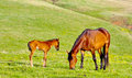 Chestnut mare and foal Stock Images
