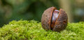 Chestnut a on a mossy bank Royalty Free Stock Images