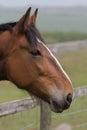 Chestnut Pony portrait