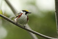 Chestnut-sided Warbler Stock Images