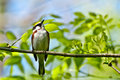 Chestnut sided warbler a close up of a Royalty Free Stock Images
