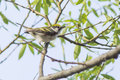 Chestnut sided warbler dendroica pensylvanica Stock Photography